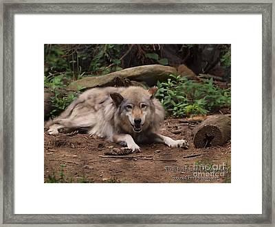 Wolf Resting Framed Print by Frank Piercy
