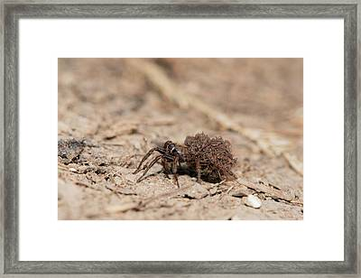 Wolf Spider Carrying Spiderlings Framed Print by Dr. John Brackenbury
