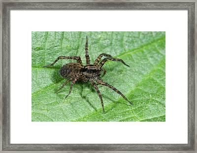 Wolf Spider Framed Print by Nigel Downer