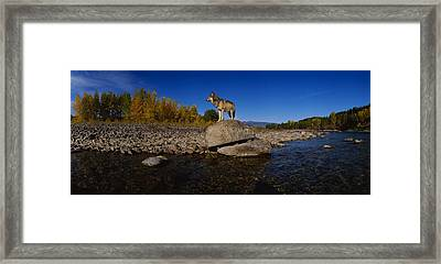 Wolf Standing On A Rock Framed Print