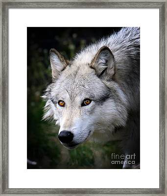 Framed Print featuring the photograph Wolf Stare by Steve McKinzie