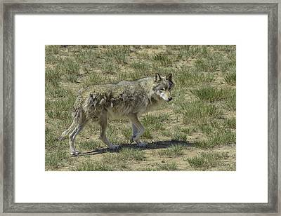 Wolf Framed Print by Tom Wilbert