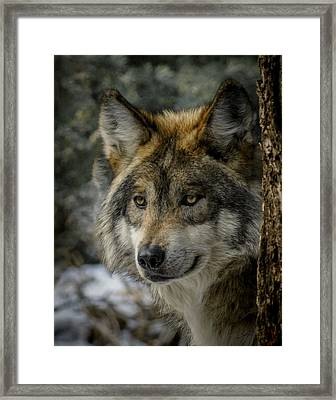 Wolf Upclose 2 Framed Print by Ernie Echols