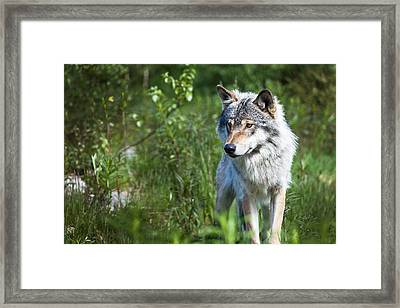 Framed Print featuring the photograph Wolf by Yngve Alexandersson