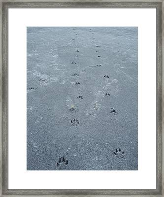 Wolf(canis Lupus Framed Print by Howie Garber