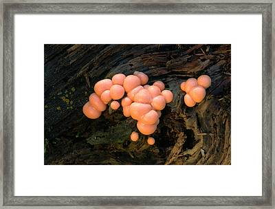 Wolf's Milk Slime Mould Framed Print by Nigel Downer