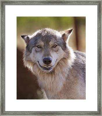 Framed Print featuring the photograph Wolf's Smile  by Brian Cross