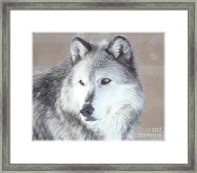 Wolve 1 Framed Print by Brenda Henley