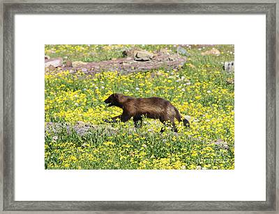 Wolverine Framed Print by Dave Knoll