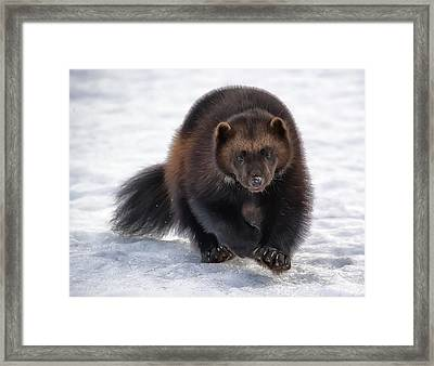 Wolverine On Snow #2 Framed Print by Wade Aiken