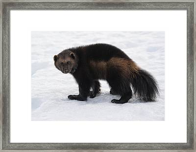 Wolverine On Snow Framed Print by Wade Aiken