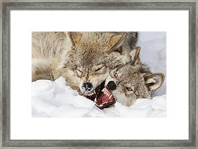 Wolves Rules Framed Print by Mircea Costina Photography