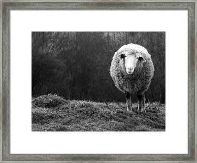 Wondering Sheep Framed Print