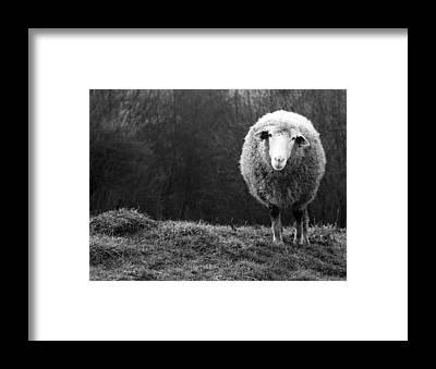 Sheep Farm Framed Prints
