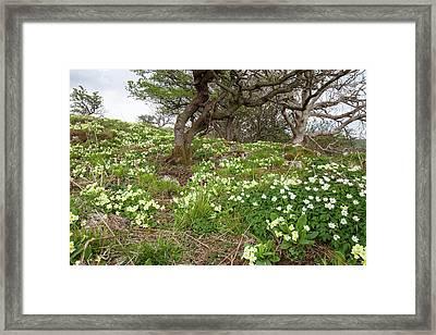Wood Anemone And Primroses Framed Print