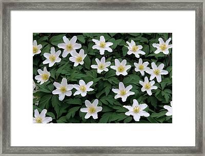 Wood Anemone Anemone Nemorosa Field Framed Print by Cisca Castelijns