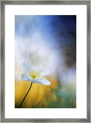 Wood Anemone Flower Switzerland Framed Print by Heike Odermatt