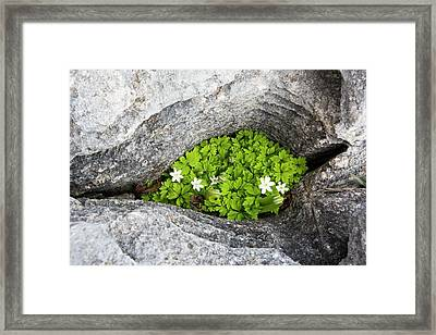 Wood Anemone Growing In A Gryke Framed Print by Ashley Cooper