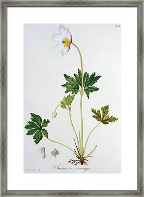 Wood Anemone Framed Print by LFJ Hoquart