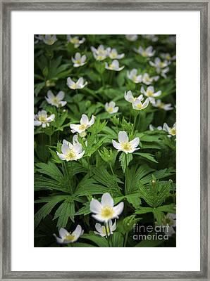 Wood Anemones Framed Print by Elena Elisseeva