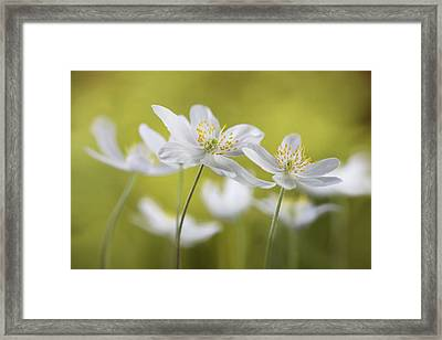 Wood Anemones Framed Print