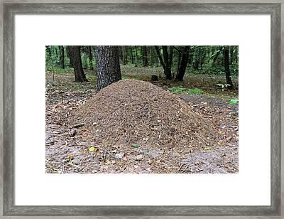 Wood Ant Nest Framed Print by Bildagentur-online/mcphoto-schulz