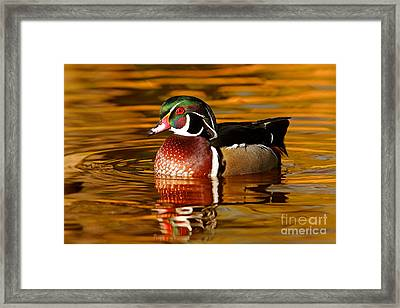 Wood-drake On The Golden Light Framed Print