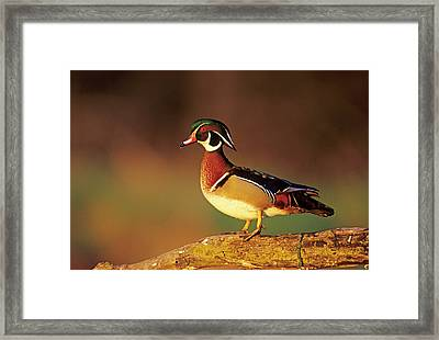 Wood Duck (aix Sponsa Framed Print by Richard and Susan Day