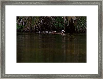 Wood Duck And Ducklings Framed Print by Paul Rebmann
