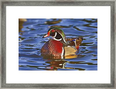 Framed Print featuring the photograph Wood Duck  by Brian Cross