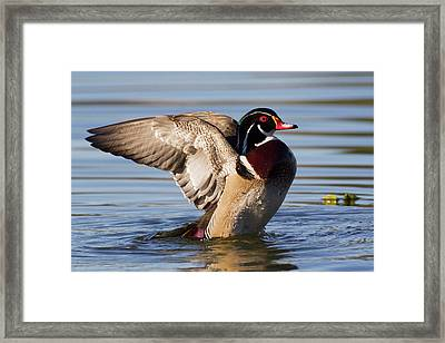 Wood Duck Drake Drying Wings Framed Print by Ken Archer