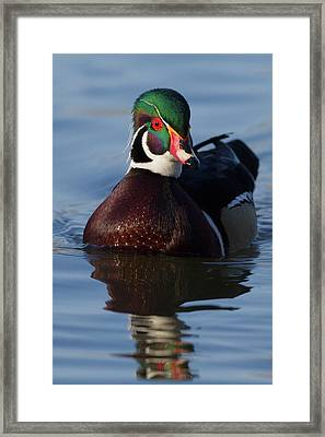 Wood Duck Drake Framed Print by Ken Archer