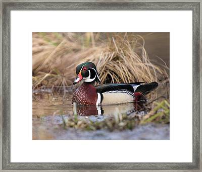 Wood Duck Drake Pose Framed Print