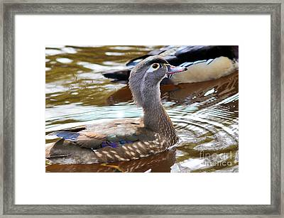 Wood Duck - Female Swimming Framed Print by Terry Elniski
