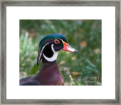 Wood Duck Headshot Framed Print by Dale Nelson