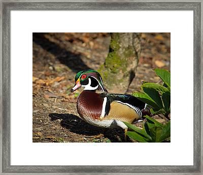 Wood Duck In Hiding Framed Print by Steve McKinzie