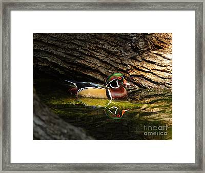 Wood Duck In Wood Framed Print by Robert Frederick