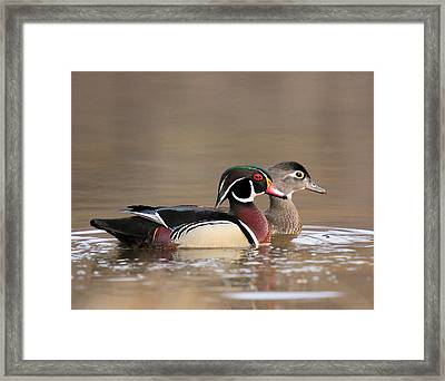 Wood Duck Pair Framed Print