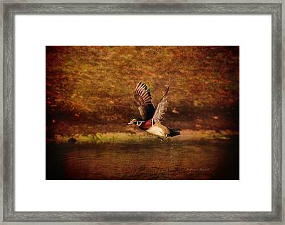 Wood Duck Taking Off Framed Print by Deborah Benoit