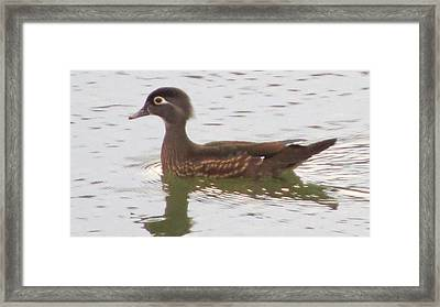 Wood Duck Visits The Pond Framed Print by Diane Mitchell