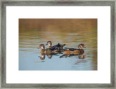 Wood Ducks And Divergent Directions Framed Print by Michael Qualls
