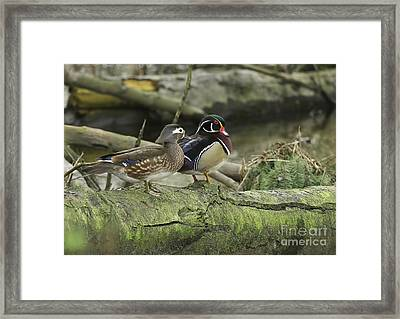 Wood Ducks On Log 4 Framed Print by Sharon Talson