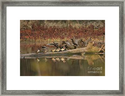 Wood Ducks On Log Framed Print by Russell Christie