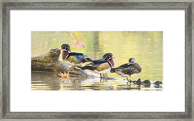 Wood-ducks Panorama Framed Print
