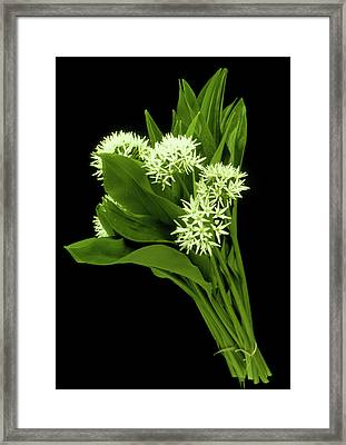 Wood Garlic Plants Framed Print by Th Foto-werbung/science Photo Library
