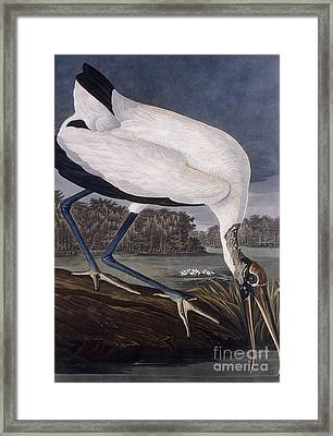 Wood Ibis Framed Print by John James Audubon