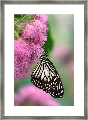 Wood Nymph Butterfly Framed Print