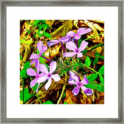 Wood Phlox Along Rocky Spring Trail On  Natchez Trace Parkway-alabama  Framed Print by Ruth Hager