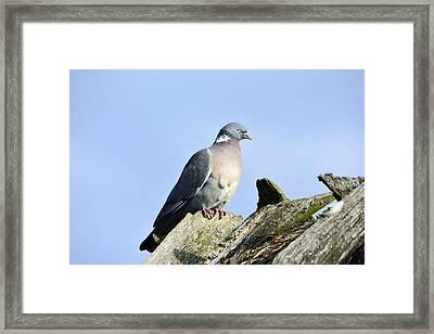 Wood Pigeon Framed Print by Tommytechno Sweden
