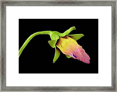 Wood Sorrel Flower Bud Framed Print